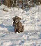 Labrador puppy. Sitting in the snow Royalty Free Stock Photos