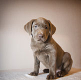 Labrador puppy. Sitting, playing royalty free stock images