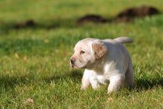 Labrador puppy. Little Yellow Labbrador retriever puppy Royalty Free Stock Photos