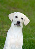 Labrador Puppy Royalty Free Stock Images