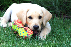 Labrador puppy. Young yellow lab playing with his chew toy Stock Images
