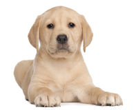 Labrador puppy, 7 weeks old, in front of white. Background Stock Photography