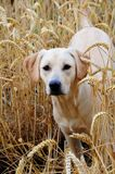 Labrador puppy,9 months Royalty Free Stock Images