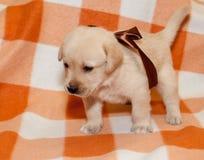 Labrador puppy. Adorable yellow labrador puppy on plaid background Royalty Free Stock Photo