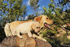 Labrador puppy and adult royalty free stock image