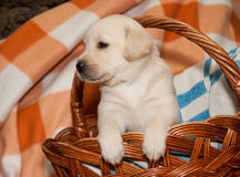 Labrador puppy in the basket. Adorable yellow labrador puppy in the basket Stock Images