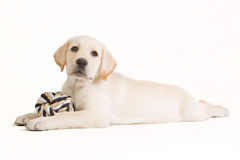 Labrador puppy with a beige ball Royalty Free Stock Image