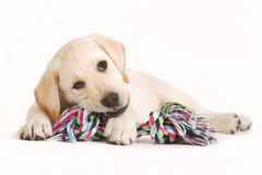 Labrador puppy biting in a coloured toy Royalty Free Stock Photo