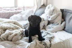 Labrador puppy. Black cute Labrador puppy girl Stock Image