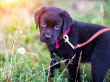 Labrador puppy. Black labrador puppy standing in the grass, close-up, bokeh Royalty Free Stock Photos