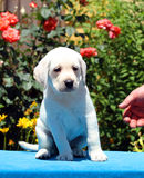 A labrador puppy on a blue background Royalty Free Stock Photo