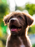 Labrador puppy with Bokeh background Royalty Free Stock Images