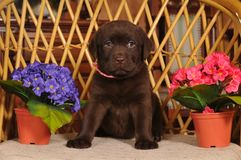 Labrador puppy on the chair Stock Image
