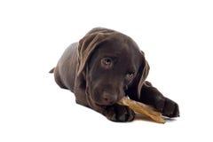 Labrador puppy chewing on bone Royalty Free Stock Photos