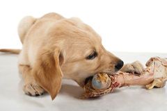 Labrador puppy chewing a large bone; BARF (Bones And Raw Food) Royalty Free Stock Photos