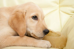 Labrador puppy chewing a shoe shaped dog snack Royalty Free Stock Image