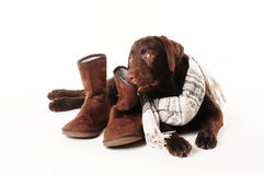 Labrador puppy chewing on  shoes with a scarf on a white background Royalty Free Stock Photos