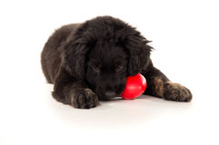 Labrador puppy chewing on a toy Stock Images
