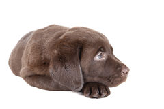 Labrador puppy chocolate Royalty Free Stock Image