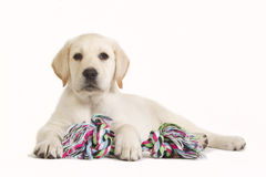 Labrador puppy with coloured toy. Yellow labrador retriever puppy with a coloured toy isolated on white Stock Photography