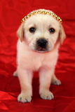 Labrador puppy with crown Stock Photo