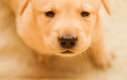 Labrador puppy. Cute yellow labrador puppy on warm background Royalty Free Stock Photography