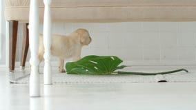 Labrador puppy destroys a big flower in a white room