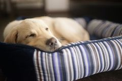 Labrador puppy dog ​​sleeping soundly. Labrador puppy dog ​​sleeping peacefully in a dog bed stock images