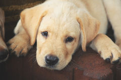 Labrador puppy dog Stock Images