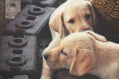 Labrador puppy dog Royalty Free Stock Photo
