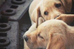 Labrador puppy dog Stock Photography