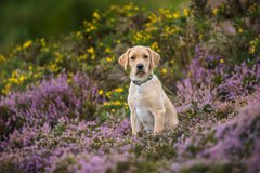 Labrador puppy dog looking alone in a field of heather Royalty Free Stock Image