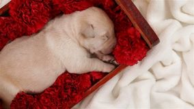 Labrador puppy dog sleeping in bed of flowers
