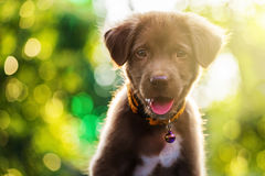 Free Labrador Puppy Dog With Bokeh Light Stock Images - 87800014