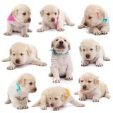 Labrador puppy dogs with colorful scarves in various positions o. N white background - lying, sitting, standing royalty free stock photo