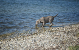 Labrador puppy. For the first time in the water stock image