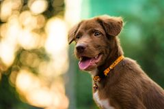 Labrador puppy with foliage sunset bokeh royalty free stock photography