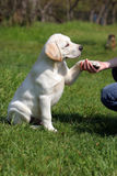 Labrador puppy giving paw to girl's hand. Yellow a labrador puppy sitting on the grass and giving paw to girl's hand Royalty Free Stock Photo