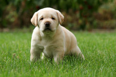 Labrador puppy in the grass Royalty Free Stock Images