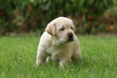 Labrador puppy in the grass Royalty Free Stock Photography