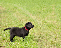 Labrador puppy in the grass. Black labrador puppy standing in the grass Stock Photography