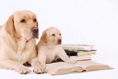 Labrador puppy with his mother and books Stock Photos