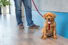 Labrador puppy with his owner on a leash at the reception of a modern veterinary practice royalty free stock photo