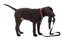 Labrador puppy holding lead. Close up side view of chocolate Labrador Retriever puppy holding lead in mouth, isolated on white background Royalty Free Stock Photo