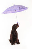 Labrador puppy is holding an umbrella in his mouth on a white ba Royalty Free Stock Photo