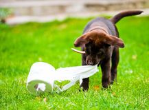 Free Labrador Puppy In Grass With Tissue Paper Roll Stock Images - 15108614