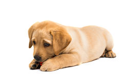 Labrador puppy isolated Stock Photo
