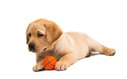 Labrador puppy isolated Stock Photography
