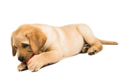 Labrador puppy isolated Royalty Free Stock Images