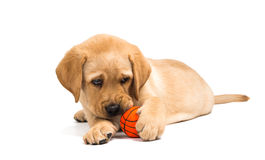 Labrador puppy isolated Royalty Free Stock Photography